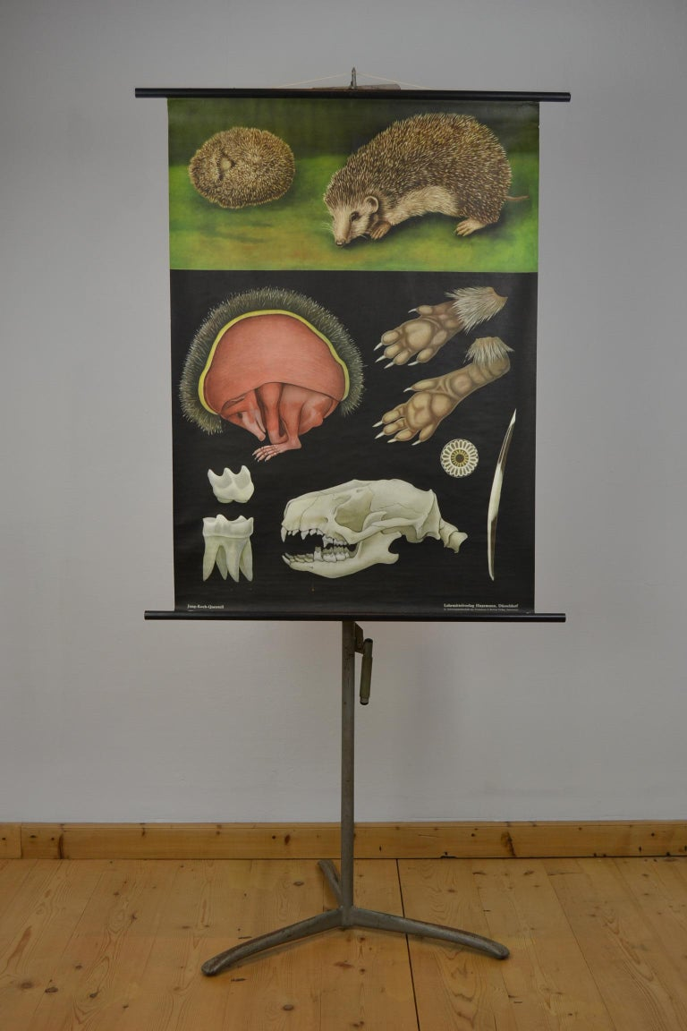 1960s canvas wall school chart, Pull down chart with beautiful illustration of the hedgehog. It shows the anatomical details of the animal on a black background.  This pull down map with animal theme is printed on paper and backed with canvas