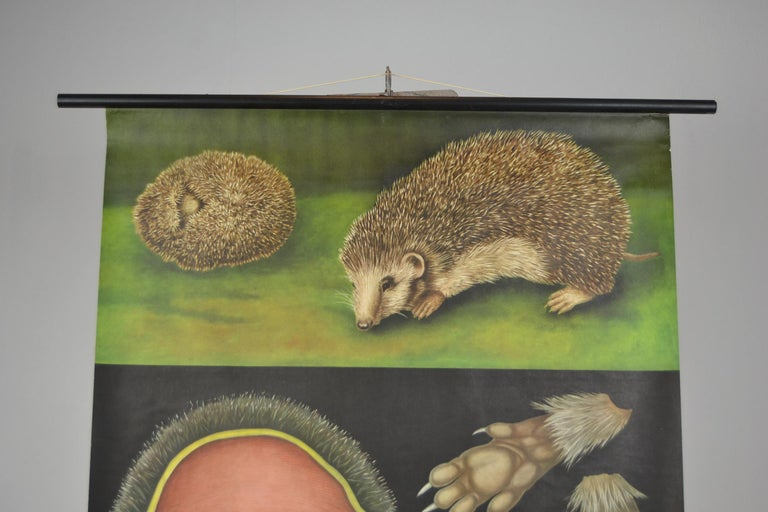 Mid-Century Modern 1960s Canvas Wall School Chart of the Hedgehog by Jung Koch Quentell For Sale