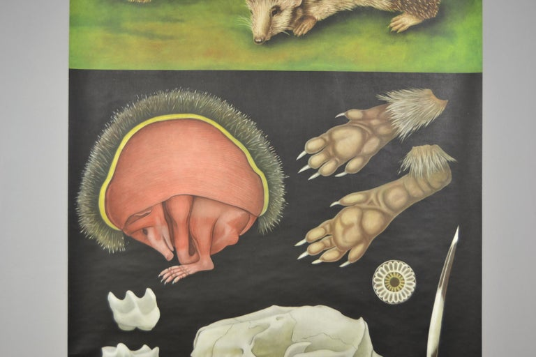 German 1960s Canvas Wall School Chart of the Hedgehog by Jung Koch Quentell For Sale