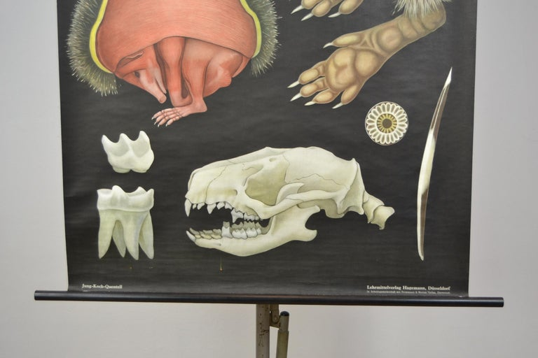 1960s Canvas Wall School Chart of the Hedgehog by Jung Koch Quentell In Good Condition For Sale In Antwerp, BE