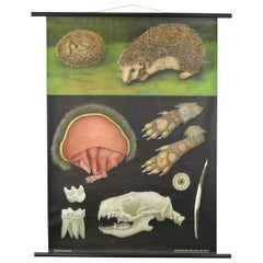 1960s Canvas Wall School Chart of the Hedgehog by Jung Koch Quentell