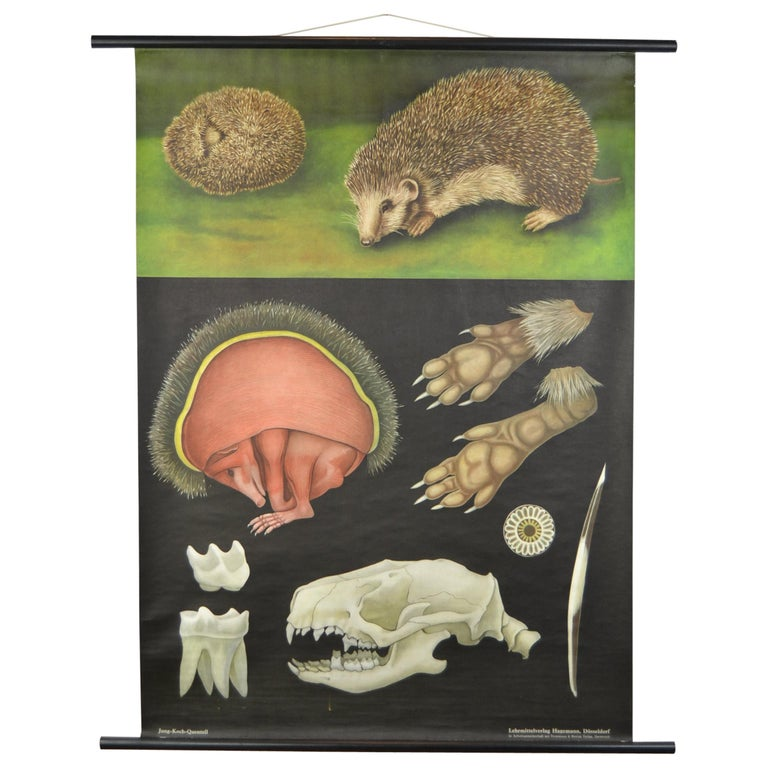 1960s Canvas Wall School Chart of the Hedgehog by Jung Koch Quentell For Sale