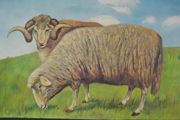 Vintage school wall chart, pull down chart with beautiful illustrated lithograph of Sheep. It shows the animal in it's natural environment as well as some anatomical details.  This Pull down map theme animals is printed on Paper and Backed with