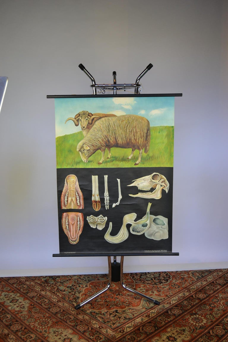 1960s Canvas Wall, School Chart with Sheep by Jung-Koch-Quentell For Sale 2