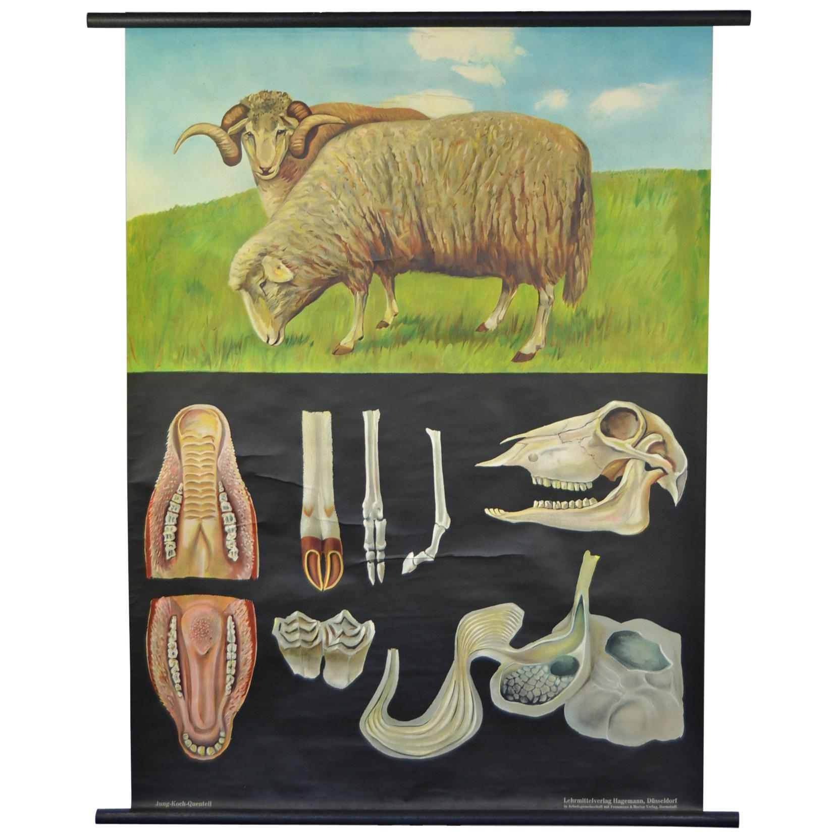 1960s Canvas Wall School Chart with Sheep by Jung-Koch-Quentell