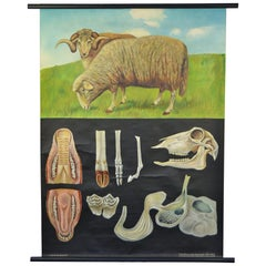 1960s Canvas Wall, School Chart with Sheep by Jung-Koch-Quentell