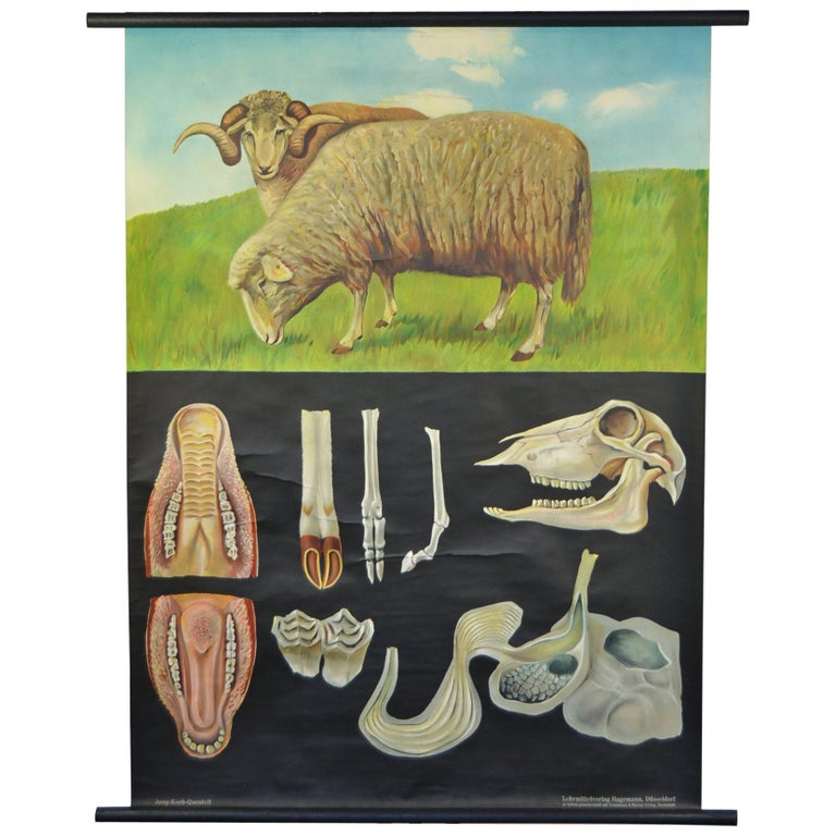 1960s Canvas Wall, School Chart with Sheep by Jung-Koch-Quentell For Sale