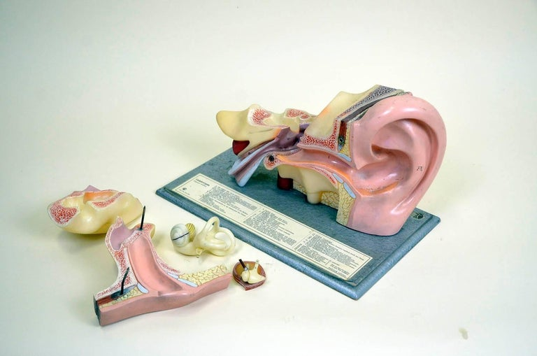 1960s Vintage Anatomical Ear Model in Plastic and Wood from Germany by Somso For Sale 7