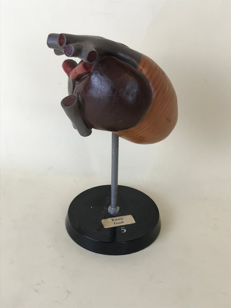 Mid-Century Modern 1970s Vintage Anatomical Model of Heart of Frog in Plastic from Germany For Sale