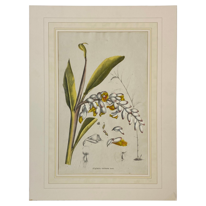 "19th C. Hand Colored Botanical ""Alpinia Nutans Rosc."" Lithograph"