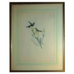 19th c John Gould Hand Colored Lithograph Hummingbirds Thalurania Furcata