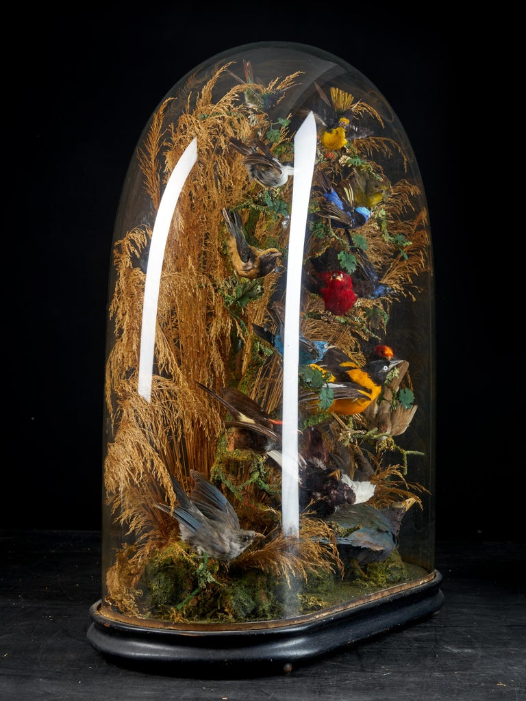 19th Century, United Kingdom, Victorian Dome Filled with 17 Exotic Birds In Fair Condition In Leuven , BE