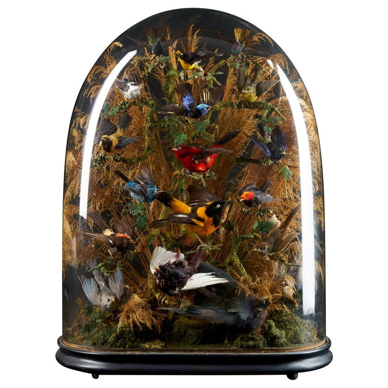 Victorian dome filled with 17 exotic birds, 19th century, offered by Collectit! by Spectandum