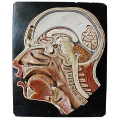 19th Century Anatomic Didactic Model, Head Cross Section by Bock, Steger Lips
