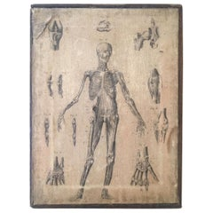 19th Century Anatomical Print