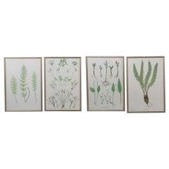 19th Century Botanical Fern Engravings