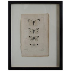 19th Century Butterfly Engravings