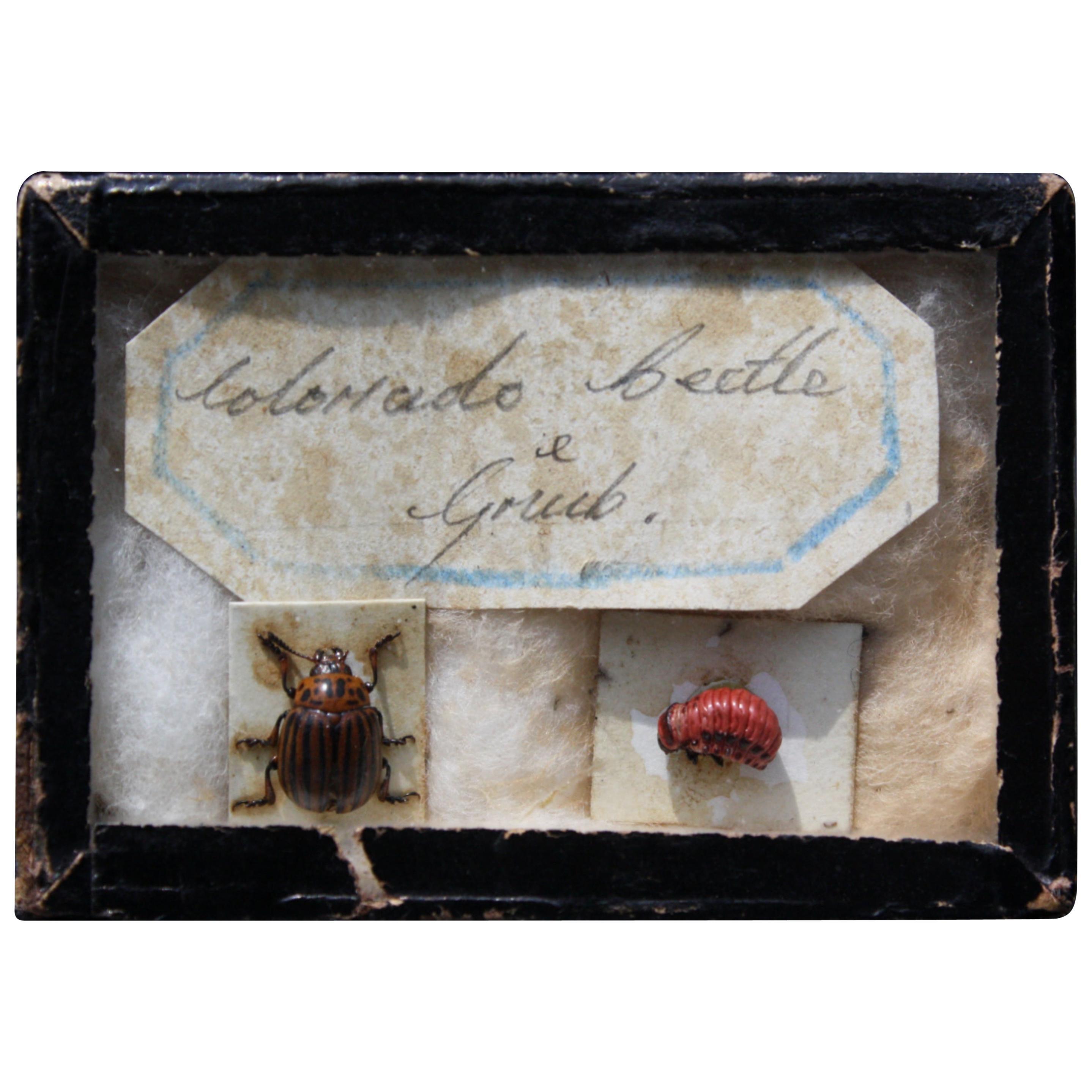 19th Century Colorado Beetle & Grub Farmers Specimen Taxidermy Curiosity