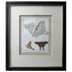 19th Century Engraving of Two Butterfly Species in Custom Frame