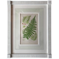 19th Century French Common Polypody Fern Lithograph