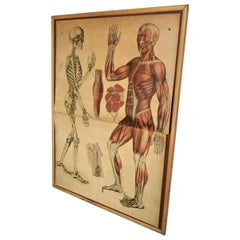 19th Century Anatomical Print Skeletal & Musculature