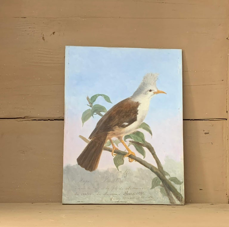 A wonderfully naturalistic depiction of a Hoepoe Bird. This particular starling species from the Mascarene Island became extinct in the late 19th century. One taxidermy example can be found in the Natural History Museum of Paris. In the late 19th