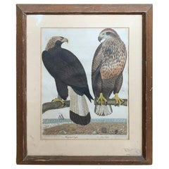19th Century Scottish Engraving of Ring Tail Eagle & Sea Eagle by J.G. Warnicke
