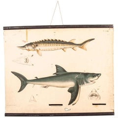 19th Century Vintage German Educational Chart, Sharks