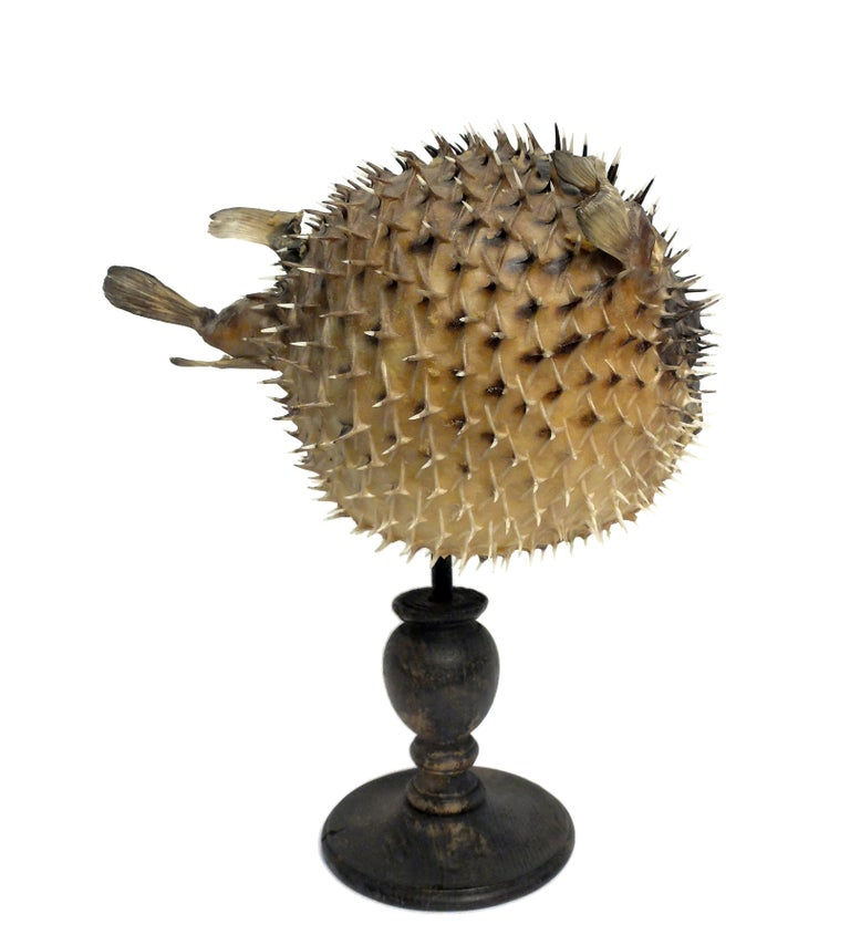 A 19th century Wunderkammer rare marine natural taxodermie specimen of a Porcupinefish (Tetradon Cutcutia). The specimen is stuffed, with glass eyes and mounted over a painted wooden base.