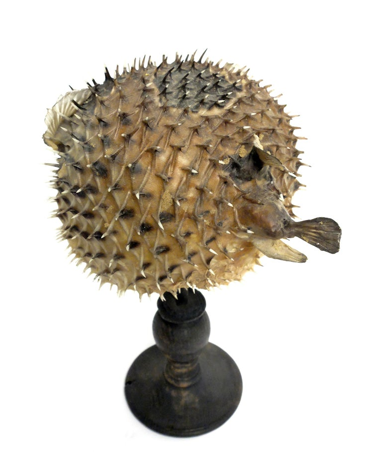 Italian 19th Century Wunderkammer Marine Natural Taxodermie Specimen of a Porcupine Fish For Sale