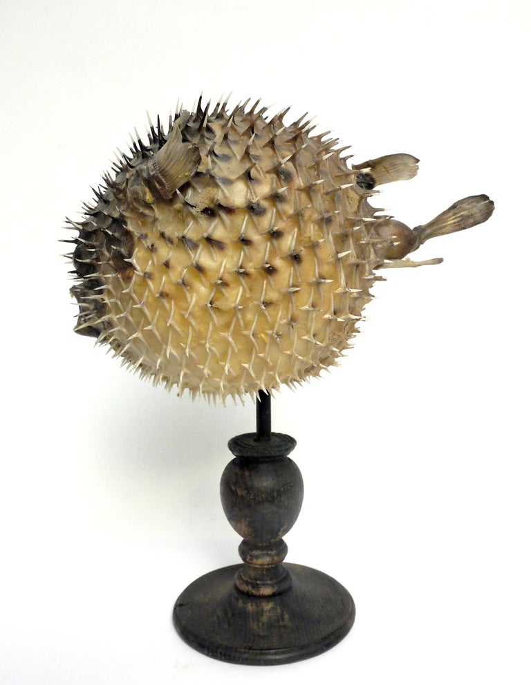 19th Century Wunderkammer Marine Natural Taxodermie Specimen of a Porcupine Fish In Distressed Condition For Sale In Milan, IT