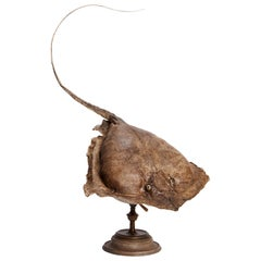 19th Century Wunderkammer Taxidermy Specimen of a Stingray