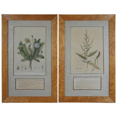 2 Antique Botanical Etchings in Olive Wood Frames Dandelion Dock Print Pair
