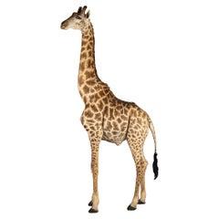 20th Century Massive Full Mount Taxidermy Male Giraffe