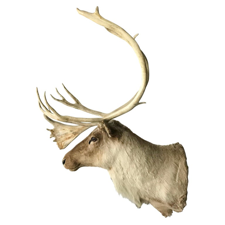 Every cottage needs one of these! A 20th century North American caribou mount with a wonderful expression and a larger-than-life presence.