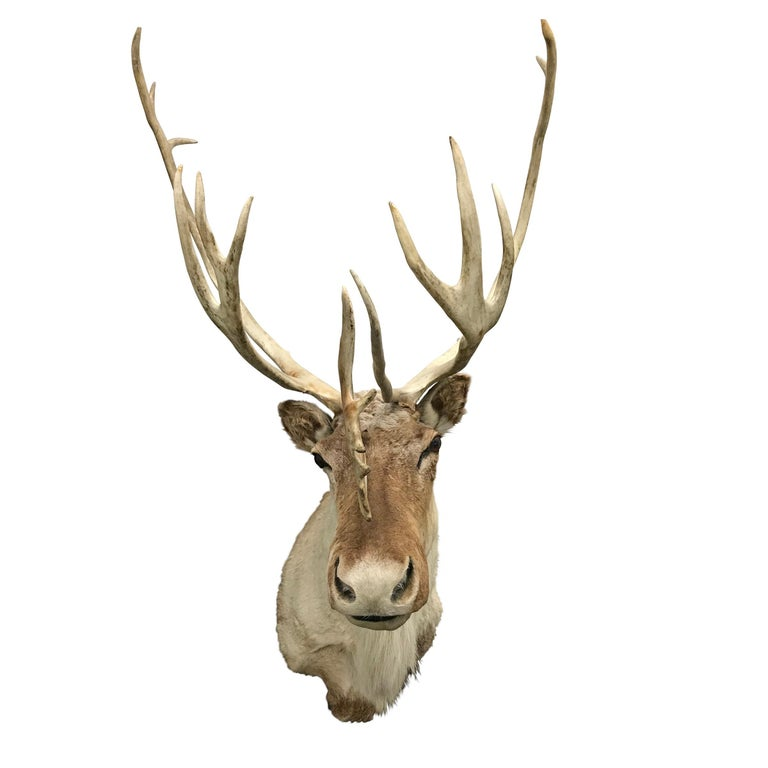 Country 20th Century North American Caribou Mount For Sale
