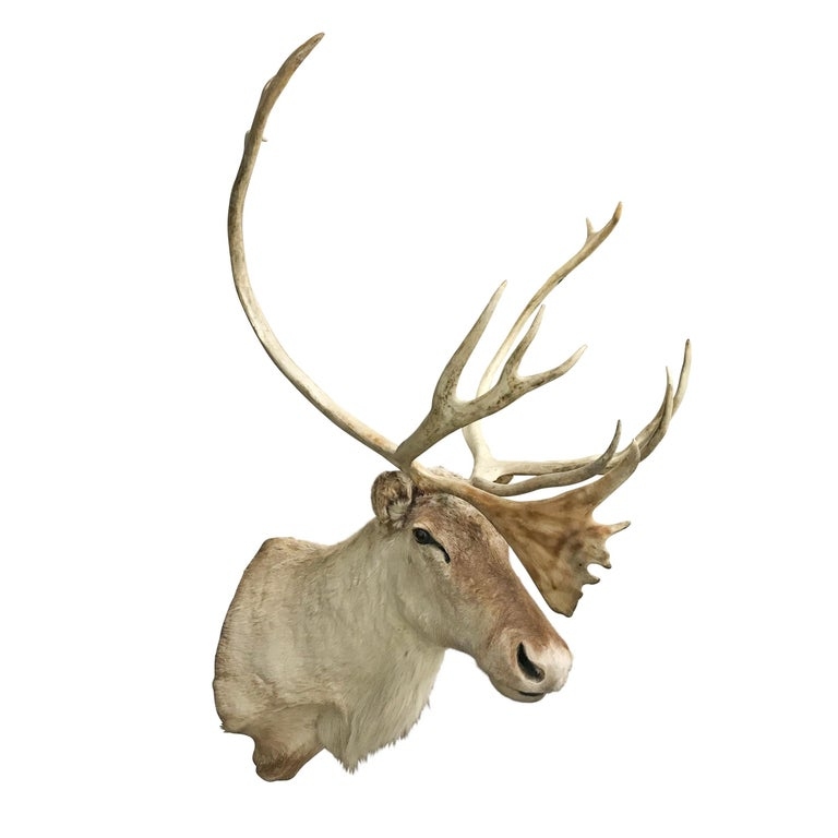 20th Century North American Caribou Mount In Good Condition For Sale In Chicago, IL