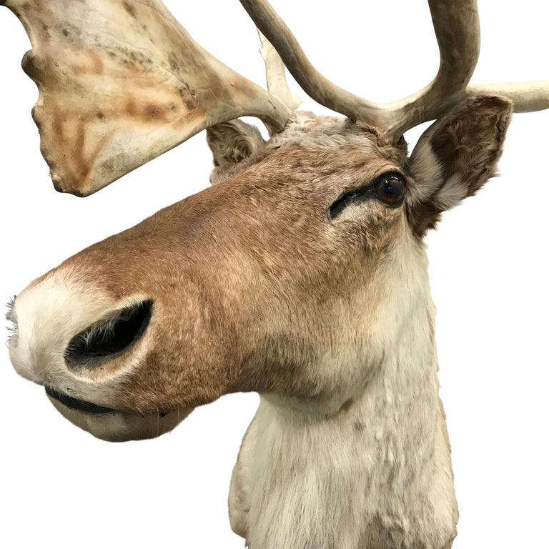 Animal Skin 20th Century North American Caribou Mount For Sale