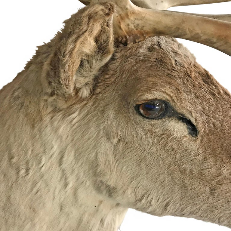 20th Century North American Caribou Mount For Sale 2