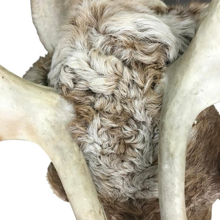 20th Century North American Caribou Mount For Sale 3