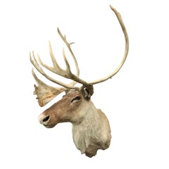 20th Century North American Caribou Mount