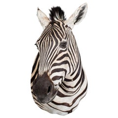 20th Century Rare African Taxidermy Burchell Zebra Head