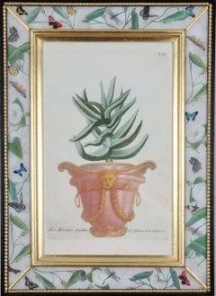Johann Weinmann: 18th Century Engravings of an aloe in a decorative pot.