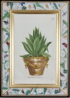 Johann Weinmann: 18th Century Engraving of an aloe in a decorative pot.