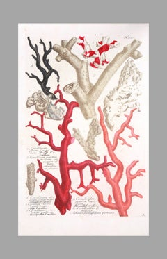 Johann Weinmann: 18th Century Engravings of Corals And Seaweed, Set of 4