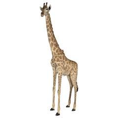 Full Mount Taxidermy Sub-Adult Male Giraffe