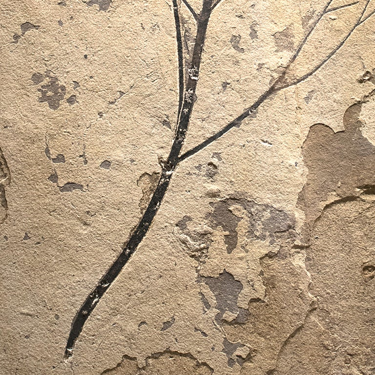 American 50 Million Year Old Eocene Era Fossil Branch Mural in Stone, from Wyoming For Sale