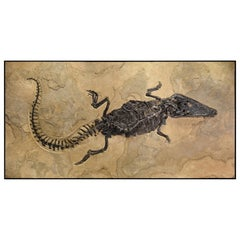 50 Million Year Old Eocene Era Fossil Crocodile Specimen in Stone, from Wyoming