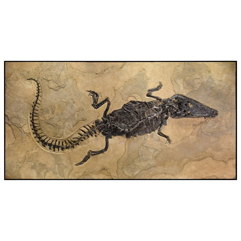 50 Million Year Old Eocene Era Fossil Crocodile Specimen in Stone, from Wyoming For Sale
