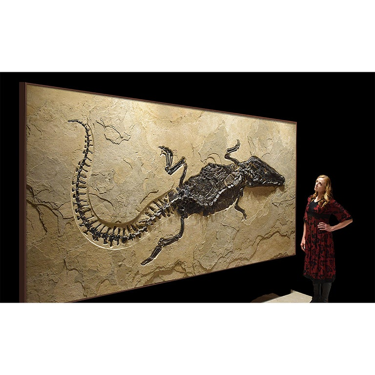 American 50 Million Year Old Eocene Era Fossil Crocodile Specimen in Stone, from Wyoming For Sale